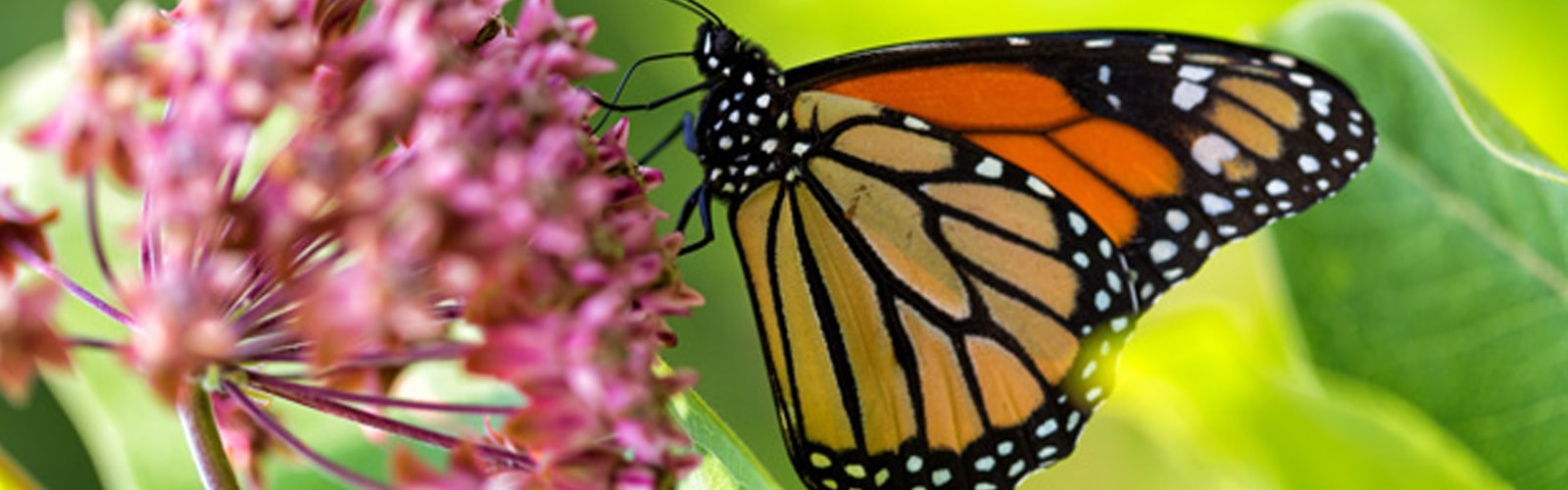 7 Ways to Help Save Butterflies and Bees