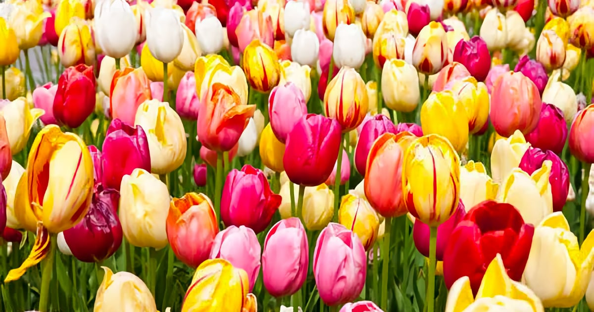Let's Talk Tulips!